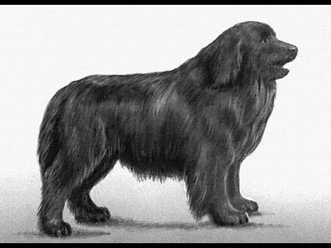 Про породу собак - Ньюфаундленд