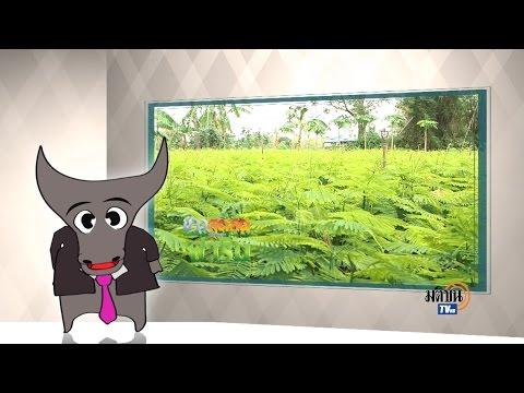 ข่าวสดๆเสิร์ฟจากฟาร์ม ตอน 058 ปลูกชะอมริมรั้วบ้าน ลพบุรี : Matichon TV