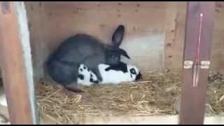 Crazy Rabbit (Çılgın tavşan)