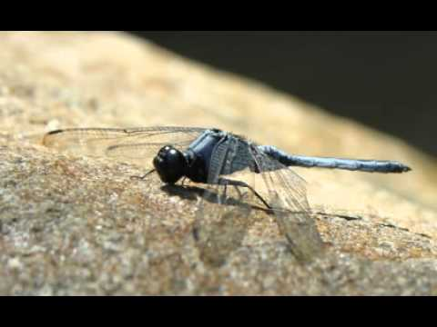 Dragonfly Facts - Facts About Dragonflies - YouTube