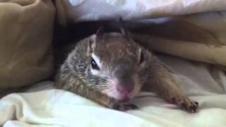 My pet Squirrel Nugget has decided WE are sleeping in