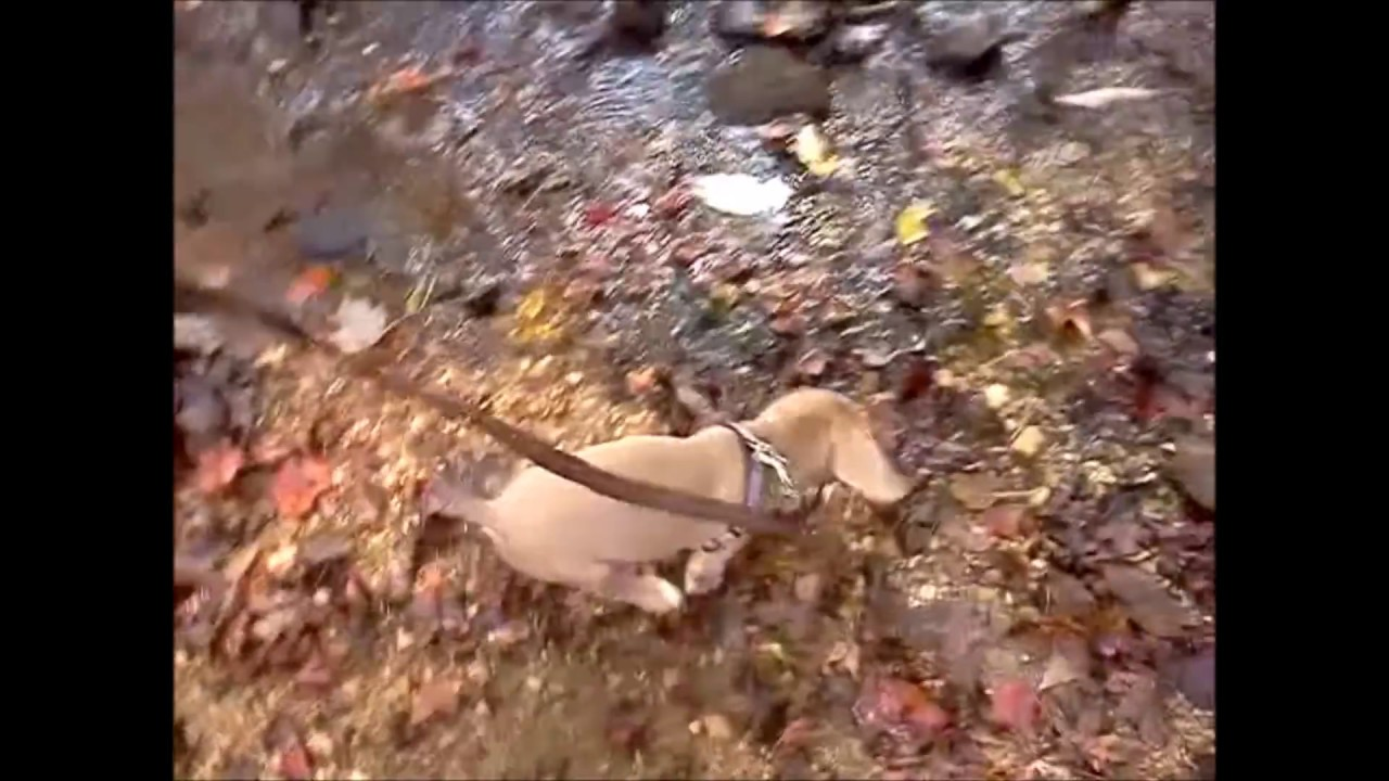Beagle Weimaraner Mix Puppy Forever