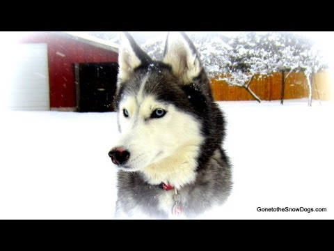 We will miss you Shiloh Run Free!  Best Siberian Husky ever!