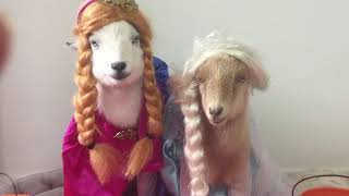 Frozen Goats - Elsa & Anna Sisters - Your Daily Goat