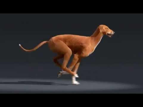 Azawakh dog run cycle animation