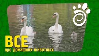 Прекрасные Лебеди (Часть Первая). Все О Домашних Животных