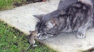 Коты пугаются птичек и мышей (2015)   Cats scared of mice and birds