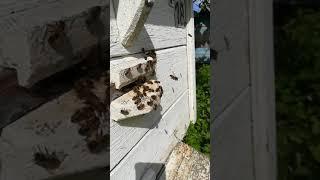 Пчелы выпаривают влагу, охлаждают улей