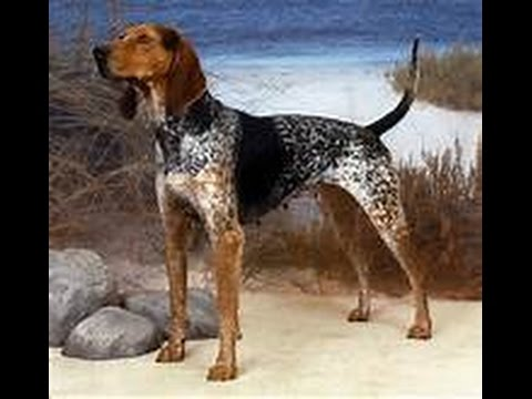 All About Animals Episode #6: American English Coonhound