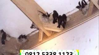 sarangburungwalet123, harga, daftar harga, pricelist, price list ,Sarang Burung walet