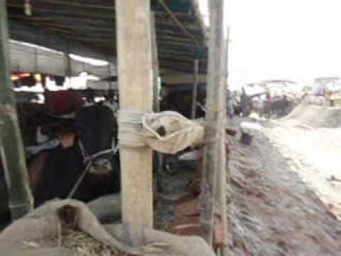 Download The Biggest Bull in 2013 at Gabtoli Cow Haat in Dhaka Bangladesh.