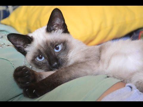 Part 1. HD FUNNY! SUPER CUTE siamese cat Sziámi cica, macska aranyos és édes