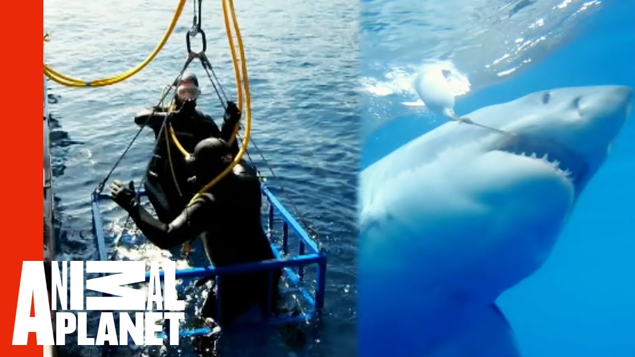 Extreme Great White Shark Cage Attack | World's Scariest Animal Attacks