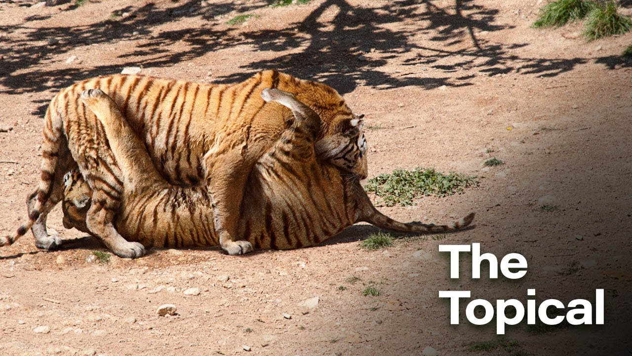 Zoologists Thrilled After Successfully Getting Pair Of Bengal Tigers To 69 In Captivity