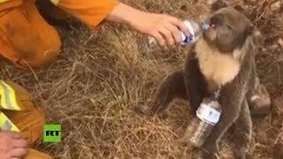 Un bombero da de beber a un koala afectado por los incendios forestales en Australia