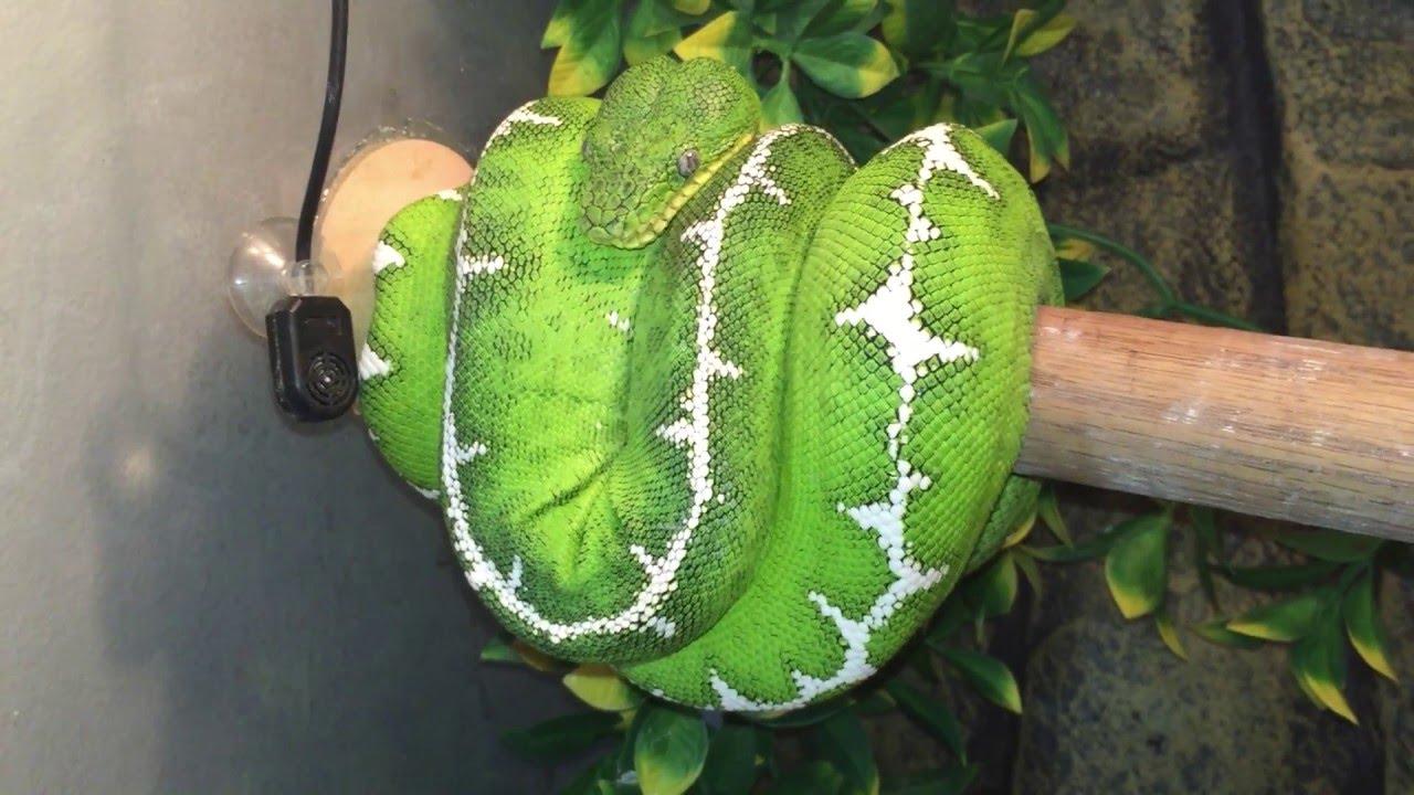12 Different Green Tree Pythons & Emerald Tree Boas - YouTube
