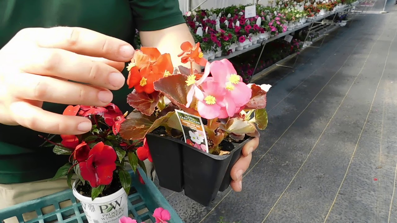 Caring for shade annuals begonias and impatiens youtube caring for shade annuals begonias and impatiens izmirmasajfo