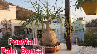 How To Make Ponytail Palm Bonsai Youtube