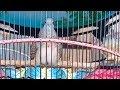 Suara Lengkap Anak Perkutut Kandang  Ring Jimat Bird Farm  Mp3 - Mp4 Download