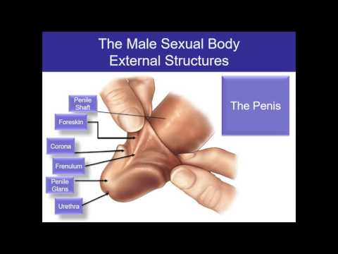 Human Sexuality Ch 2 Male sexual anatomy