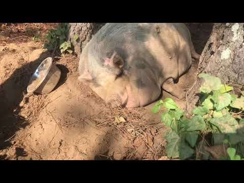 Bobby Leach - WATCH: Snoring Pig Relaxing On A Hot Day