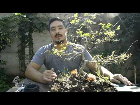 Como hacer esquejes de bonsai doovi for Como iniciar un vivero
