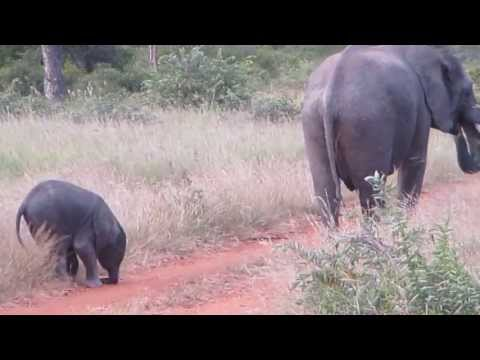 Baby Elephant Discovering His Own Trunk And Feet Is Just Precious