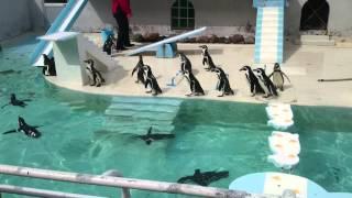ペンギンのショーにカラスが侵入してきました。 手ぶれひどくてすいませ...