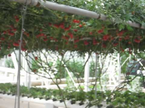 """Octopus Tomato Trees"" Can Yield up to 32,000 Tomatoes per Harvest"
