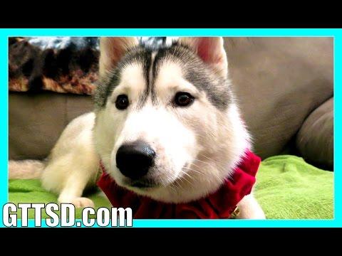 HERE COMES SANTA PAWS | Song Parody | Siberian Husky Christmas