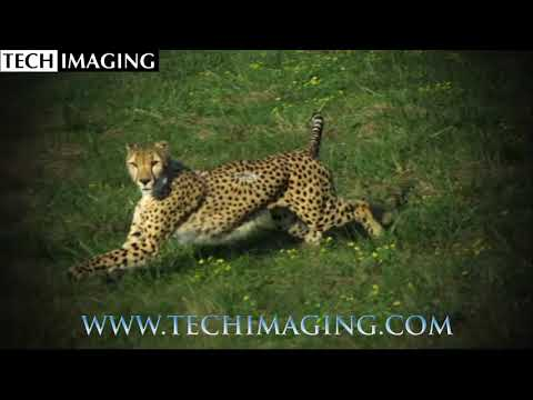 High Speed Video Camera - Wild Cheetahs