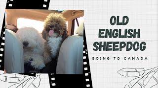 Old English Sheepdogs' Travel Vlog⎢RoadTrip to Canada⎢Ed&Mel