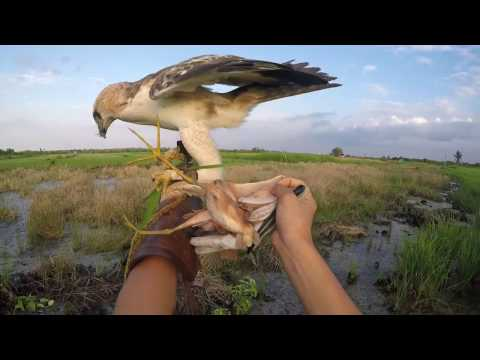 """hunting with changeable hawk eagle """"theo"""""""