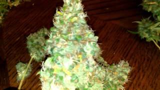 Homemade Growbox Harvest
