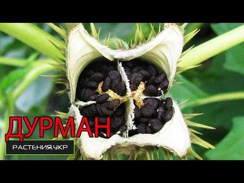 Трава дурман обыкновенный – растение, имеющее опасные и