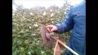 Ремонтантная малина обрезка и подготовка к зиме
