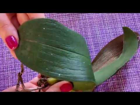 Наращивание корней с нуля у орхидеи  Новая реанимашка Нет корней и тургора.
