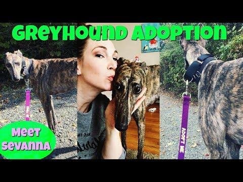 ADOPT A GREYHOUND! | Meet Sevana