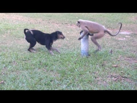 Dog Vs Monkey Fighting For Food