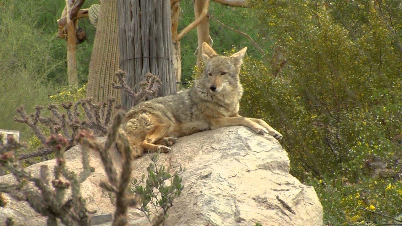 2013/2014 Arizona Wildlife Views Show 7 YouTube