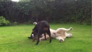 rottweiler play fighting alaskan malamute