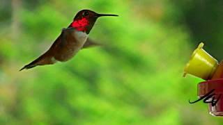 hummingbird feeder action [HD]
