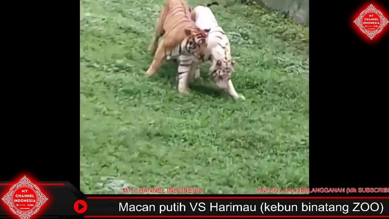 Macan Putih Vs Harimau YouTube