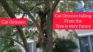Cat orinoco falling from the tree is very funny