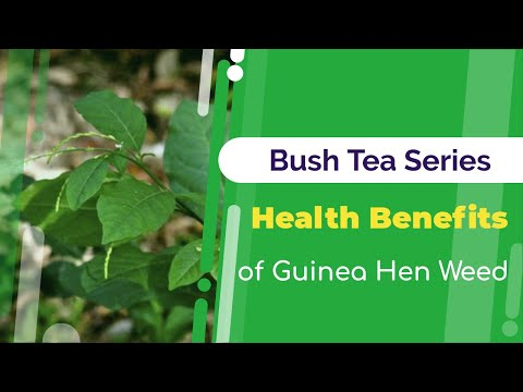 Health Benefits of Guinea Hen Weed | Bush Tea Series | Jamaican Things
