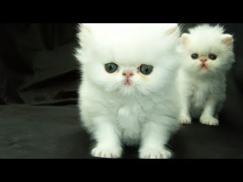 Cat Show At Petex 2017 Hyderabad Persian Cats and Other Breeds