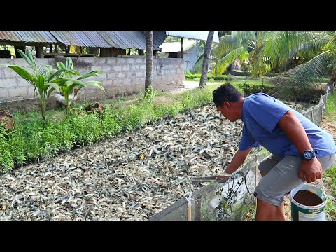 Native Catfish Farming│Inside The Most Successful Catfish Farm