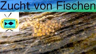 Zucht von Fischen / #15
