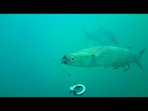 acquista il più recente stile classico outlet online Waterwolf - Traina con il vivo al pesce serra - YouTube