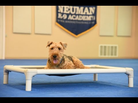 Indy (Welsh Terrier) Boot Camp Dog Training Video Demonstration